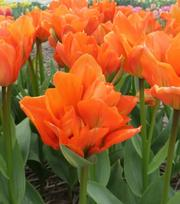 Tulip Disneyland Paris