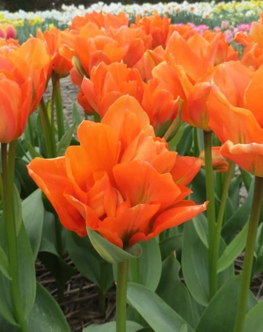 Tulip Disneyland Paris