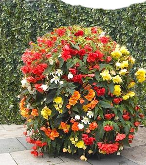 Begonia Cascade Mixture