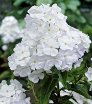 Phlox White Admiral