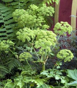 Angelica Archangelica