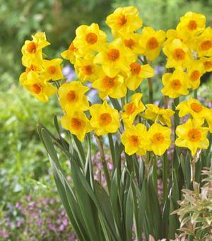 Narcissus Explosion