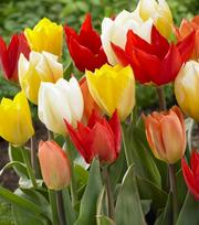 Tulip Fosteriana Mixture