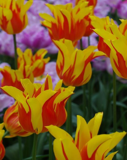 Tulip Firework