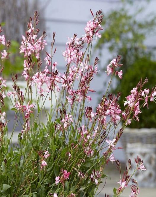 Gaura hardy perennial plants spring planting bulbs plants and gaura rosy jane mightylinksfo