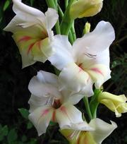 Gladiolus Halley