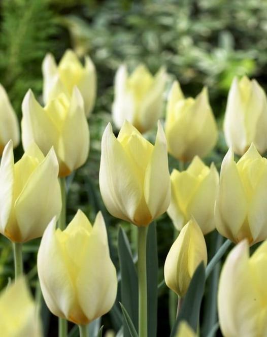 Tulip Honky Tonk