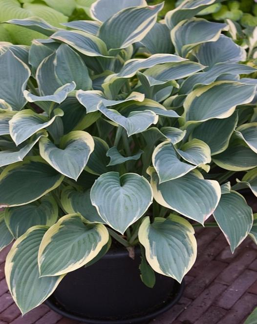 Hosta Hardy Perennial Plants Spring Planting Bulbs Plants And