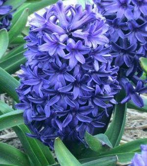 Hyacinth Peter Stuyvesant