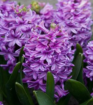 Hyacinth Purple Voice