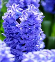 Hyacinth Delft Blue