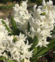 Hyacinth Fairy White