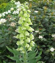Fritillaria Persica Ivory Bells