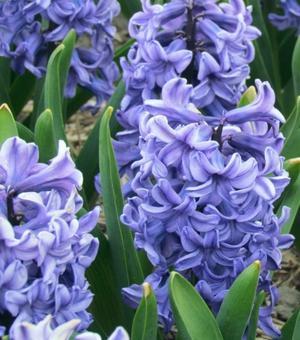 Hyacinth Blue Star