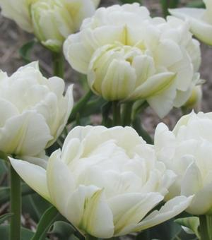 Tulip Global Desire ®