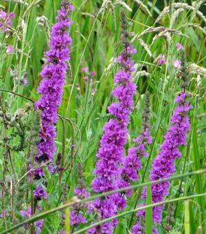 Lythrum Dropmore Purple