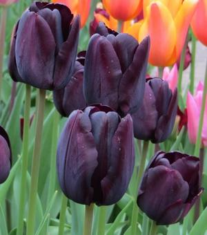 Tulip Paul Scherer 12 cm