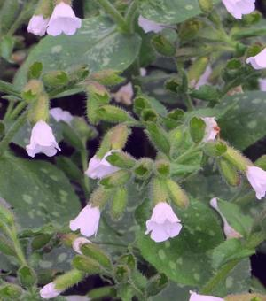 Pulmonaria Mrs Kittle