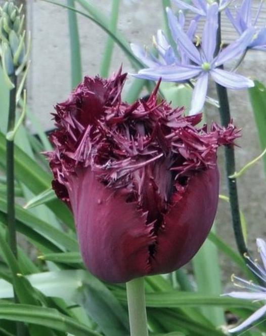 Tulip Labrador