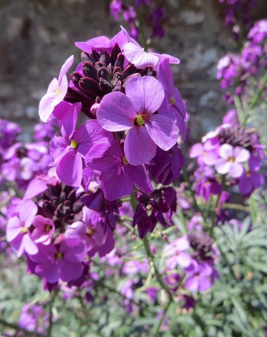 Erysimum Hardy Perennial Plants Spring Planting Bulbs Plants