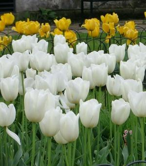Tulip White Dynasty