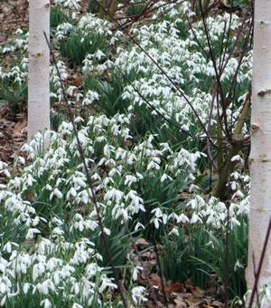 Snowdrop Single (Nivalis Simplex) Size 4/5 cm