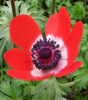 Anemone Cononaria De Caen Hollandia