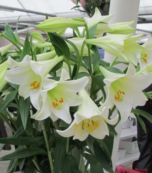 Lilium White Present