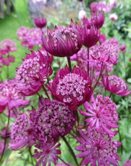 Astrantia Major Washfield