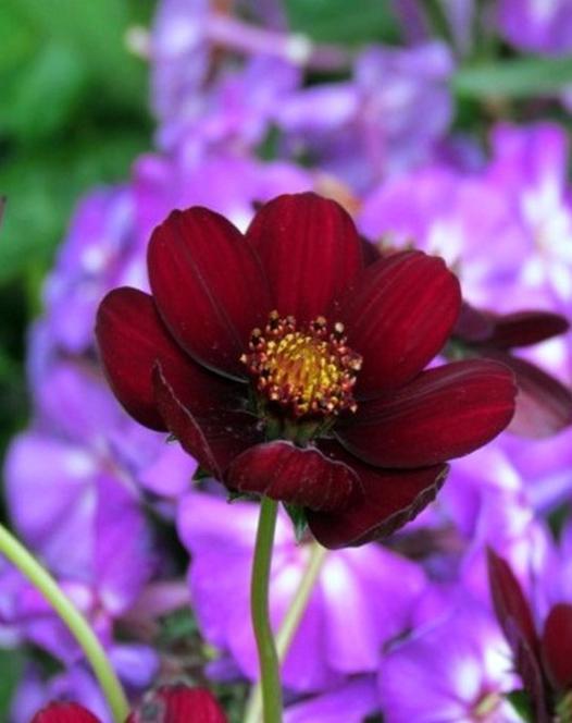 Cosmos asteraceae hardy perennial plants spring planting cosmos atrosanguineus mightylinksfo
