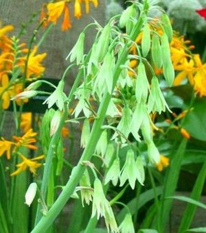 Galtonia Viridiflora