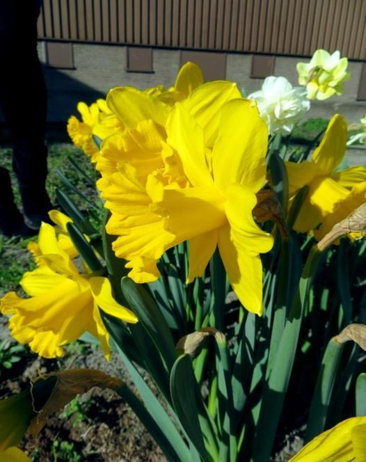 Narcissus Carlton 25kg