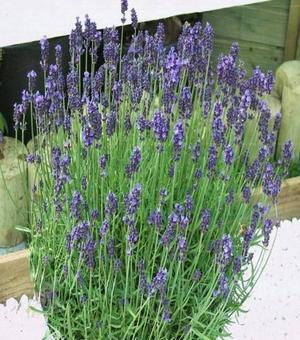 Lavandula Super Blue