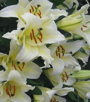 Lilium Honeymoon