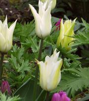 Tulip Sapporo