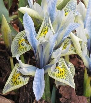 Iris Specie Katherine Hodgkin