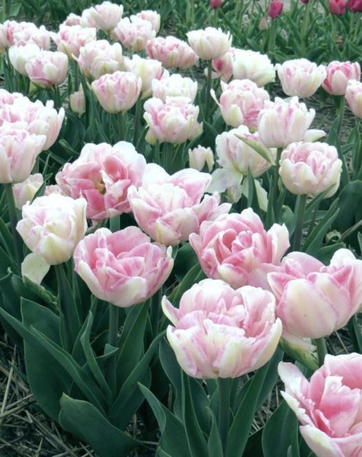 Tulip Angelique 10/11 cm