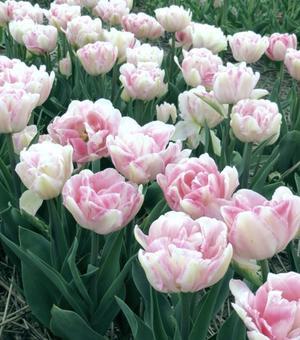Tulip Angelique 12 cm