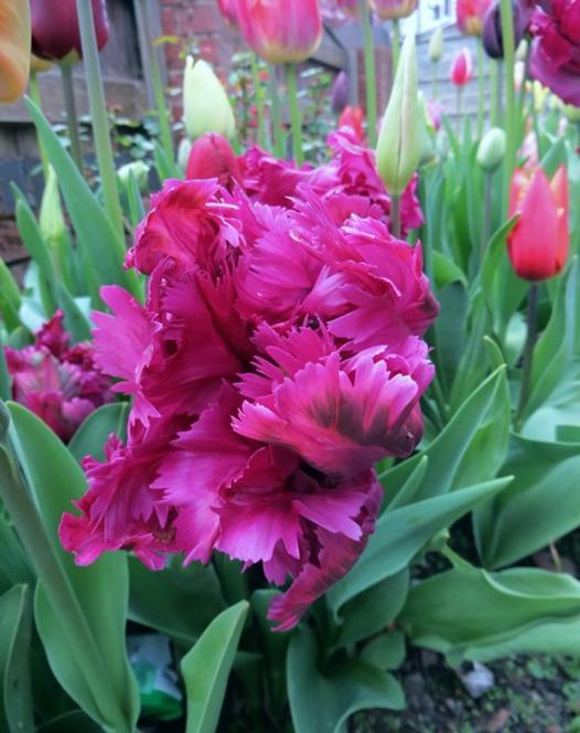 Tulip Negrita Parrot