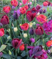 Flamenco Tulip Collection