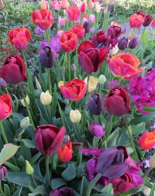 Flamenco Tulip Collection B