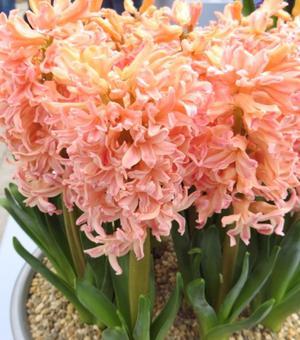 Hyacinth Gypsy Queen