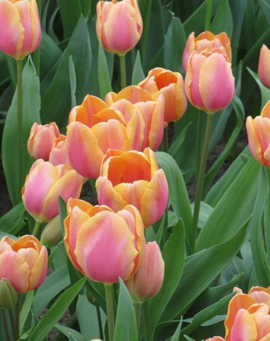 Tulip Dragon King