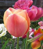 Tulip Stunning Apricot