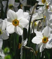 Narcissus Actaea