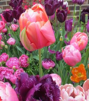 Tulip Menton Exotic
