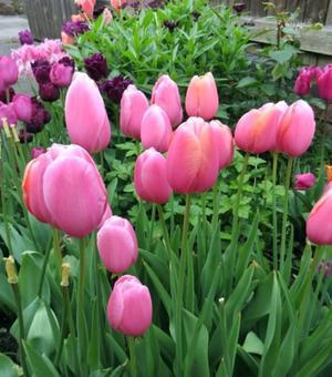 Tulip Menton