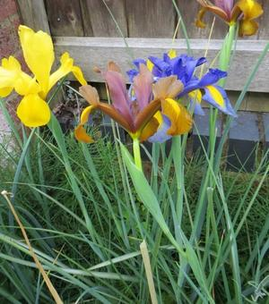 Dutch Iris Beauty Super Mixture