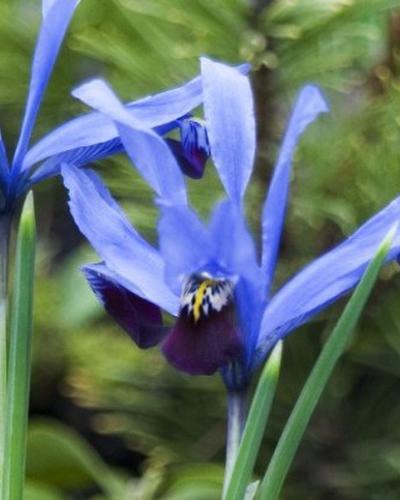Iris reticulata ?q=75&e=1209600&t=inset&w=400&h=500