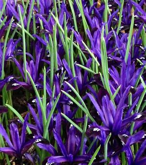 Iris Reticulata Blue Note
